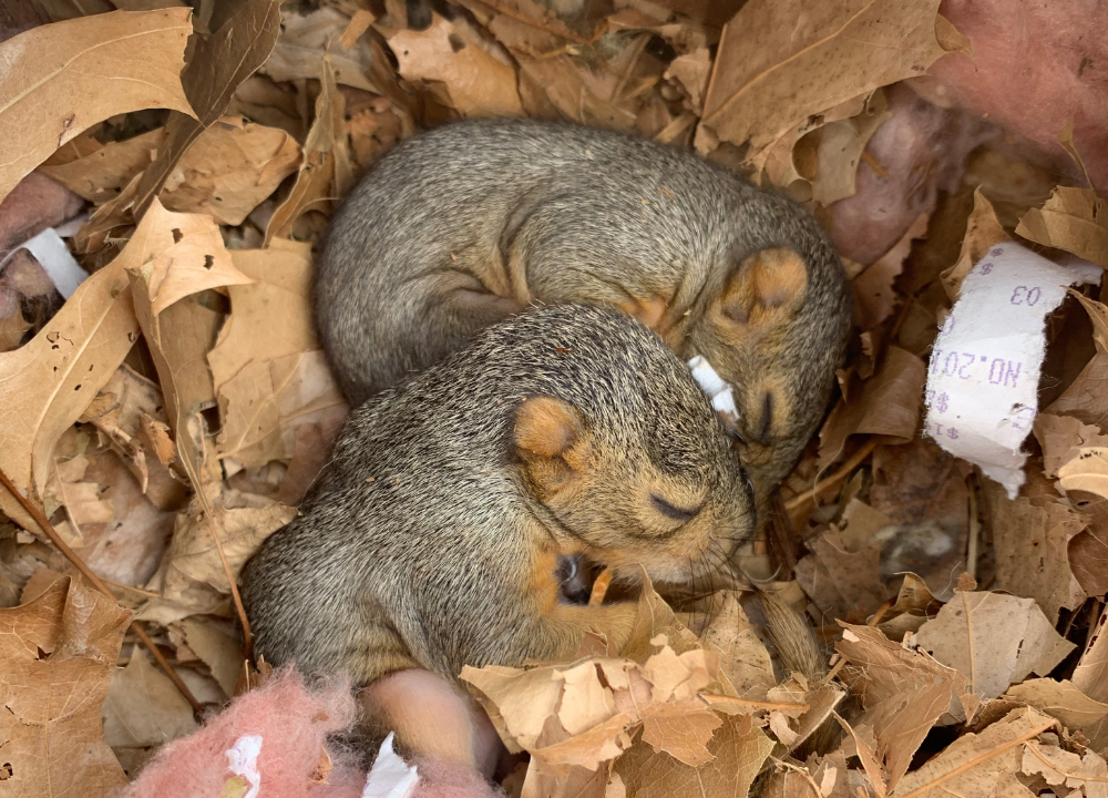 Baby squirrels removed with nesting.